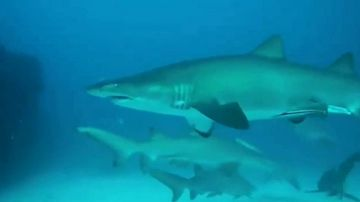 Video shows sharks surround divers off Gold Coast
