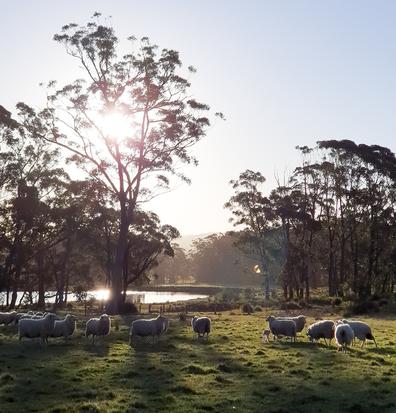 Southern Highlands sheep