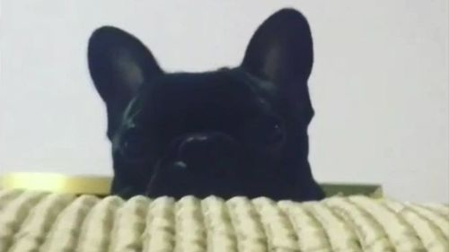 A French bulldog puppy has died on a United Airlines flight. (ABC USA)
