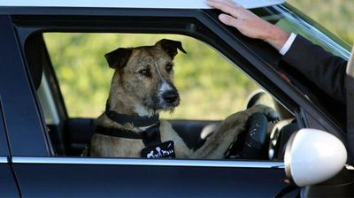 A shelter dog behind the wheel of a car. (SPCA Auckland)