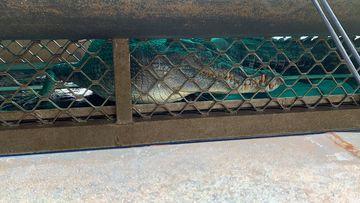 Three-metre saltwater croc captured near Innisfail