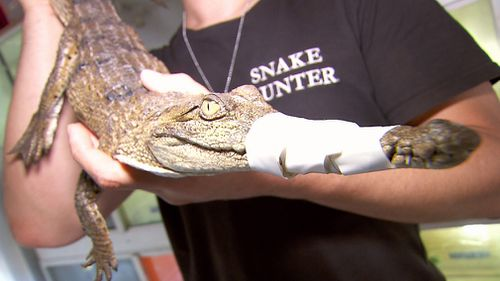 Snake catcher Mark Pelley was called in to catch the croc. (9NEWS)