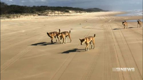 People visiting the island have been warned not to approach dingoes.