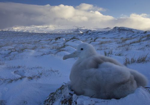 An albatross sits on top of a snow-dusted nest on Marion Island.