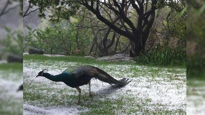 A peacock was caught out in the wild weather. (Instagram: lhamiskincare)