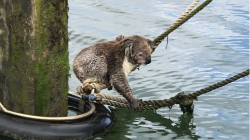 Soggy koala rescued from mooring 300 metres offshore