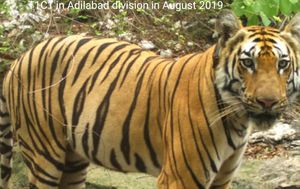 Tiger walks 1300 kilometres to find a mate in India