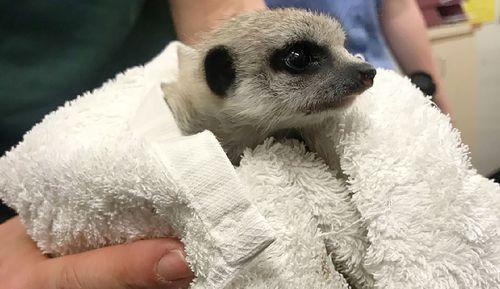 The baby meerkat was taken from Perth Zoo, Western Australia in September.