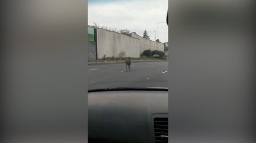 Drivers were forced to slow down as the deer ran down the highway. (9NEWS)