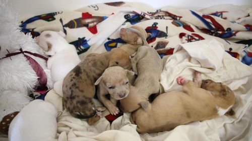 The RSPCA is urging anyone who is unable to care for newborn puppies to surrender them in person to a shelter and if possible keep the mother dog with them too.