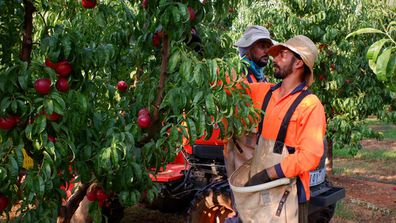 Hand picking the nectarines for the Australian stone-fruit season