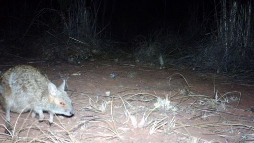 Rare spectacled hare-wallaby spotted with camera trap in WA