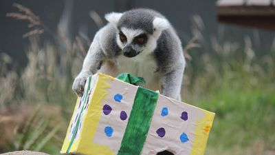 This lemur used its gift as a balancing toy.