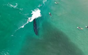 Drone captures 'amazing' whales riding waves alongside surfers