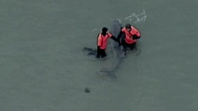 Trapped whale dies after becoming stranded