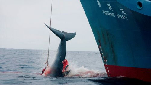A file photograph shows a Japanese whaling ship injuring a whale with its first harpoon attempt before taking a further three shots to finally kill it in the Southern Ocean in 2006.