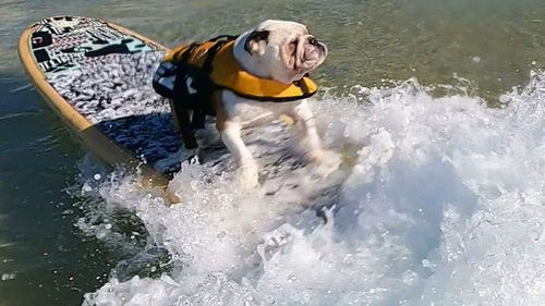 Pork Chops, the six-year-old French bulldog, has become the coast's most recent surfing superstar after amassing a large wave of fans and has even landed his first sponsorship deal.