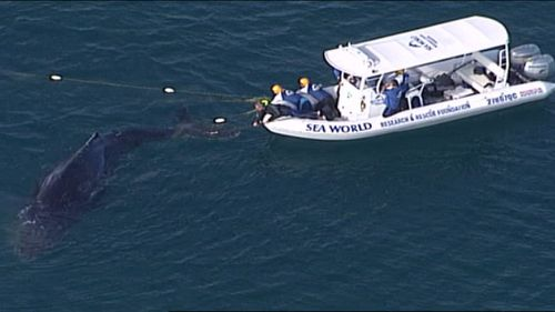 Sea World crews free a whale after it became trapped in shark nets off a Gold Coast beach. (9NEWS)