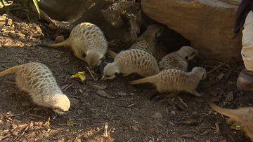 Zoo's newest meerkats undergo health checks