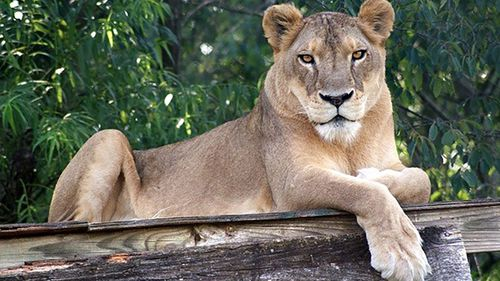 Lion dies in US zoo after overheating