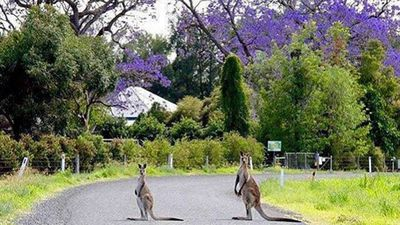 One resident spotted two kangaroos hanging out under the purple blossoms in the Scenic Rim in regional Queensland last week. (Instagram: @genwindley)