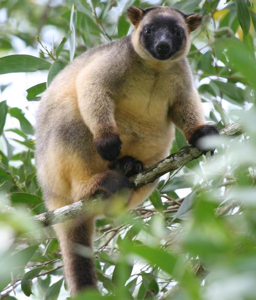 Queensland drought linked to increased rate of blindness among rare tree kangaroos