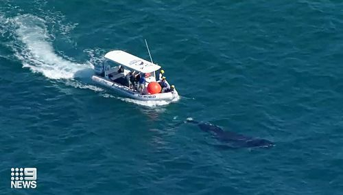 The situation prompted SeaWorld rescuers to come from both air and sea to answer to help free the lone animal. But the whale wasn't helping its own rescue by swimming away from rescue crews.