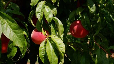 Peaches on the tree, ripe for the Australian harvest