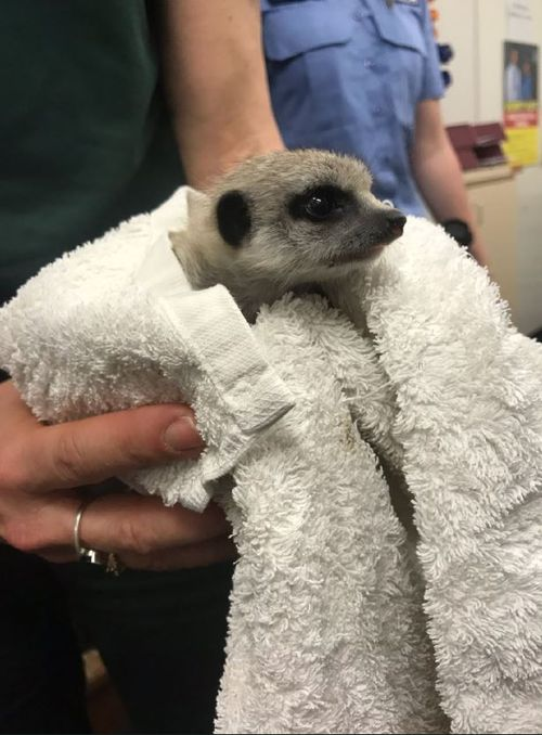 A one-month-old meerkat that suddenly disappeared from its Perth Zoo enclosure has been found in a home at Beverley.