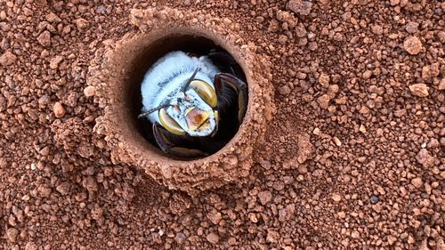 The bees begin to emerge from their burrows over a few weeks every spring.