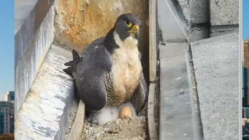 The mother falcon has been keeping a close watch on her newborn chicks.