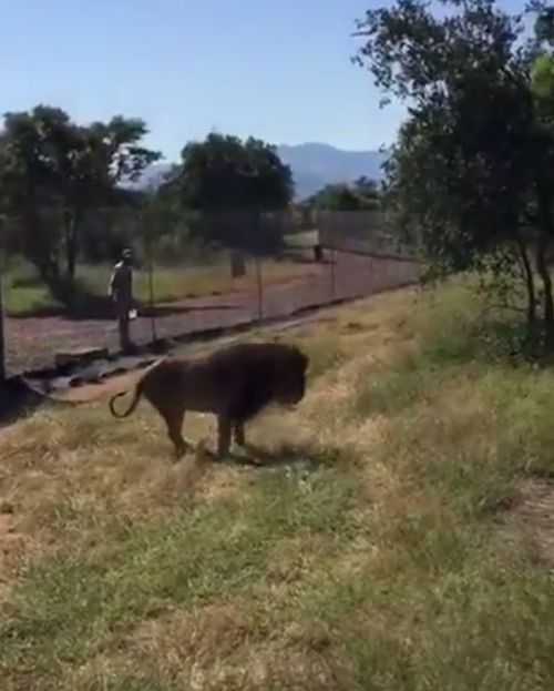 The lion was wandering around its enclosure at Makarele Predator Centre in South Africa before the attack. (Twitter)