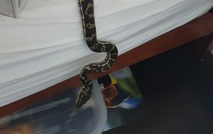 Spot the snake hiding in these Aussie backyards and homes