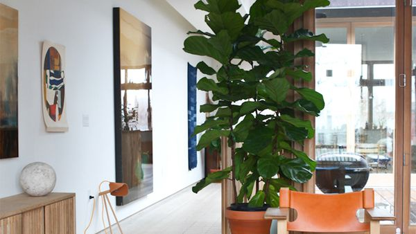 How To Care For Your Fiddle Leaf Fig 9homes