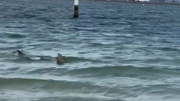 Swimmers have raced from the water when a shark reportedly became trapped in a netted area at Brighton Le Sands.