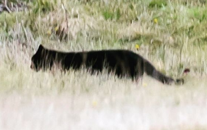 Panther or feral cat? Photo of feline leaves theorists divided