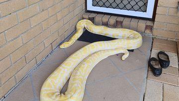 "Картинки по запросу ""Fright of her life': Gold Coast woman finds five-metre python on her doorstep"""