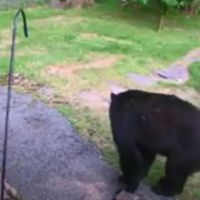 Fearless dog chases bear from neighbour's yard