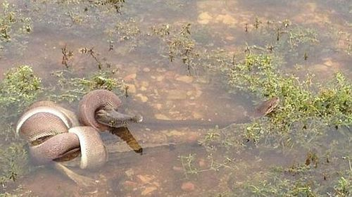 The snake quickly wrapped itself around the croc and began to strangle it (Supplied).