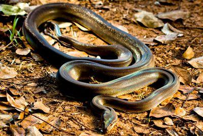 Aussie snake beast