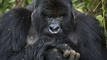 A gorilla in Rwanda.