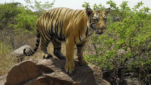 Tiger snatches woman in front of husband