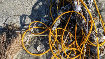 The pile of yellow sea whip was found partially buried in sand.