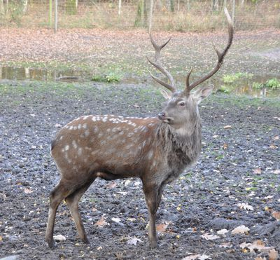 <strong>#1 Sika deer</strong>