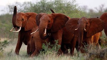 Elephants use their trunks to smell for possible danger in the Tsavo East national park, Kenya in March 2010. (AAP)