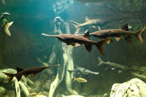 The Chinese Paddlefish Has Been Declared Extinct