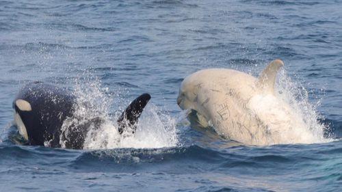 Gojiraiwa Kanko Whale Watching in Japan spotted a rare white orca whale.
