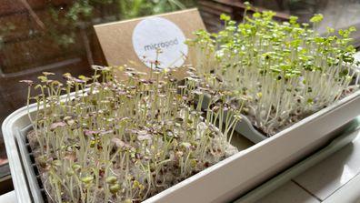 Micropod growing microgreens on the windowsill