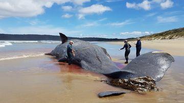 Large sperm whale carcass found on Tasmanian beach.
