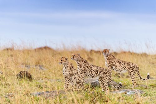 These cheetahs were seen sniffing around a tree and marked their territory, with this they demonstrate their territorial claim to other cheetahs in the grasslands of Masai Mara, Kenya.